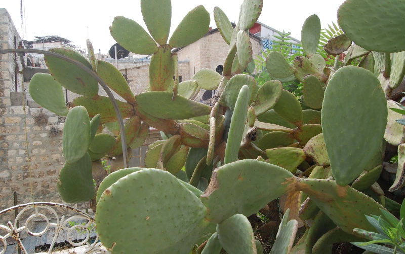 Cactuses in Jerusalem - not the most prickly.