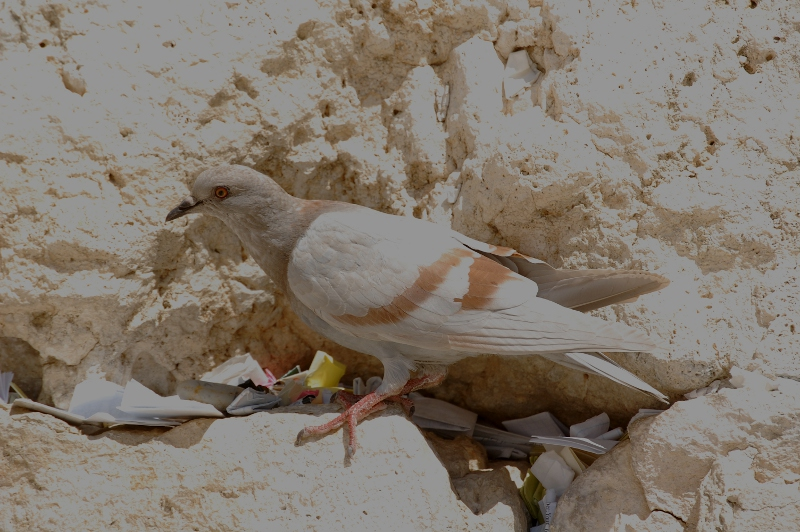 a dove at the Kotel (Western Wall) in Jerusalem