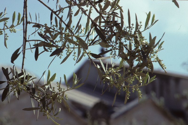 Olive leaves and flowers, by the Church of All Nations - Gethsemane