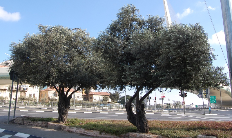 Olive trees by one of Jerusalem's busiest junctions